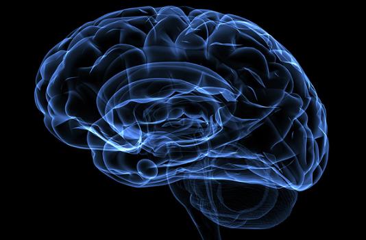 кора головного мозга человека